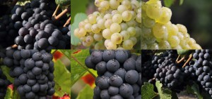 Pinot Noir / Caberbet Sauvignon / Chardonnay / Muscat / Meunier / Merlot